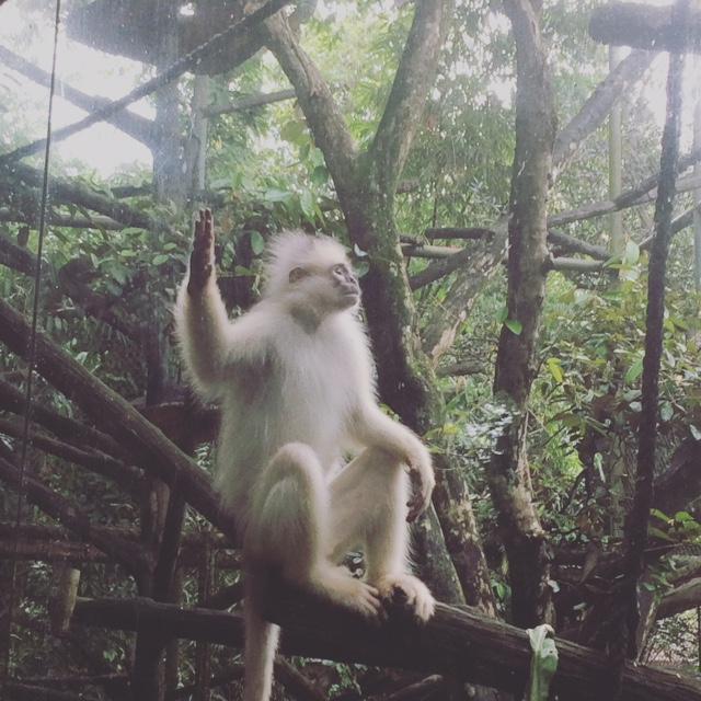 Monyet Raguna